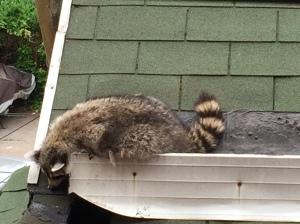Brooklyn Raccoon 1